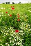 Ajardine com crescimento de flores vermelho do Papaver e da camomila da papoila de milho no prado colorido no campo Campo da mola Imagens de Stock