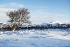 Ajardine com dunas da neve e uma árvore só do inverno, Islândia Foto de Stock Royalty Free