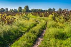 Ajardine com a estrada de terra entre campos dos girassóis em Ucrânia central Fotos de Stock