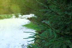 Ajardine com a estrada nevado no inverno através de uma floresta do pinho Fotos de Stock