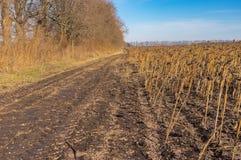 Ajardine com a estrada secundária suja na borda do campo agrícola com girassóis maduros Foto de Stock