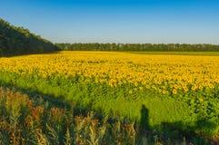 Ajardine com a estrada suja entre campos dos girassóis em Ucrânia central Imagens de Stock Royalty Free