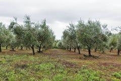 Ajardine com fileiras das oliveiras em Istria, Croácia Foto de Stock
