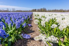 Ajardine com fileiras de flores de florescência do jacinto na Holanda Fotos de Stock Royalty Free