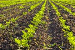 Ajardine com fileiras de plantas novas do girassol em um campo Foto de Stock Royalty Free