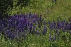 ajardine com flores roxas em um prado e em um por do sol flores selvagens de florescência do campo no nascer do sol Imagem de Stock Royalty Free