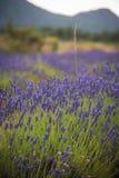 Ajardine com florescência de flores do lavander no campo Fotos de Stock