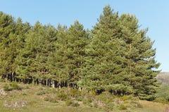 Ajardine com a floresta da madeira de pinho e o céu azul do espaço livre Imagens de Stock Royalty Free