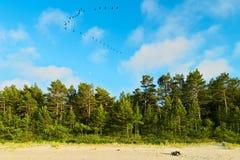 Ajardine com a floresta do pinheiro que cresce em dunas na costa de mar Báltico e no céu azul com os cormorões que voam em uma fo Fotos de Stock