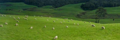 Ajardine com floresta e carneiros da pastagem, ilha norte, Nova Zelândia Imagens de Stock Royalty Free