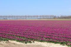 Ajardine com flowerculture e os windturbines roxos em Flevoland, Noordoostpolder, Países Baixos Imagens de Stock