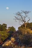 Ajardine com a Lua cheia no parque nacional de Kruger, África do Sul Imagens de Stock