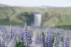 Ajardine com lupines e a cachoeira de florescência de Skogafoss, Islândia Foto de Stock Royalty Free