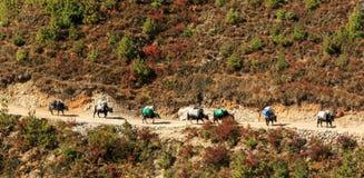 Ajardine com montanhas altas e caravana dos bois em Himalaya Fotos de Stock Royalty Free
