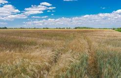 Ajardine com o céu nebuloso azul, campo de trigo verde e trilha dentro dela Fotos de Stock Royalty Free