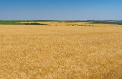 Ajardine com o céu sem nuvens azul e campos de trigo maduros perto da cidade de Dnipro, Ucrânia central Imagem de Stock Royalty Free