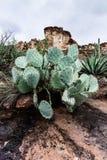 Ajardine com o cacto de pera espinhosa no deserto do Arizona, EUA Imagem de Stock