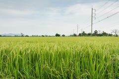 Ajardine com o campo de almofada cultivado na província de Kanchanaburi Imagem de Stock