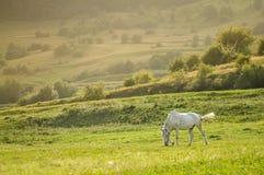 ajardine com o cavalo branco bonito que pasta no por do sol Foto de Stock