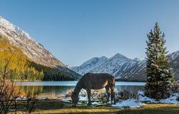 Ajardine com o cavalo em montanhas de Altai, Rússia Fotografia de Stock Royalty Free