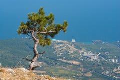 Ajardine com o pinheiro só que cresce na borda do precipício Foto de Stock