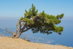 Ajardine com o pinheiro só que cresce na borda do precipício Imagens de Stock Royalty Free
