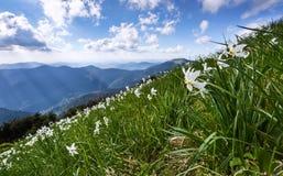 Ajardine com os narcisos amarelos bonitos na grama verde Os raios do sol picam através das nuvens brancas Montanhas altas Fotos de Stock Royalty Free