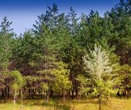 Ajardine com os pinheiros na borda da floresta Fotos de Stock Royalty Free