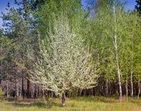Ajardine com os pinheiros na borda da floresta Imagem de Stock Royalty Free