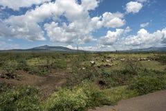 Ajardine com os rebanhos do gado em Kenya central Imagem de Stock
