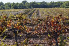 Ajardine com os vinhedos no outono, região do vinho de Penedes Cataloni Foto de Stock
