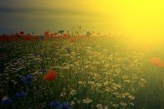 Ajardine com papoilas e camomila na luz 3 do por do sol Foto de Stock