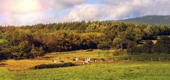 Ajardine com pasto e vacas no sol da noite Fotografia de Stock Royalty Free