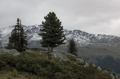 Ajardine com pinheiros e as montanhas nevado no tempo nebuloso Fotos de Stock