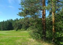 Ajardine com prado, pinheiros e céu do blye fotografia de stock