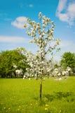 Ajardine com rebento de florescência de uma árvore de Apple Fotografia de Stock Royalty Free