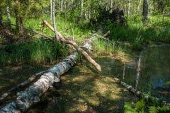 Ajardine com rio da floresta e beaver logs, Sergeevo, Palekh, V Fotos de Stock