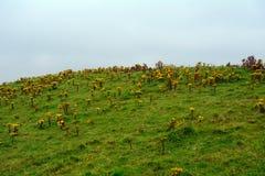 Ajardine com rosea de Rhodiola, penhascos de Moher, Irlanda Fotos de Stock Royalty Free