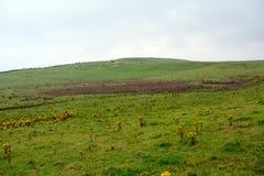 Ajardine com rosea de Rhodiola, penhascos de Moher, Irlanda Imagem de Stock Royalty Free