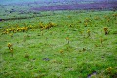 Ajardine com rosea de Rhodiola, penhascos de Moher, Irlanda Imagens de Stock Royalty Free