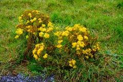 Ajardine com rosea de Rhodiola, penhascos de Moher, Irlanda Imagens de Stock
