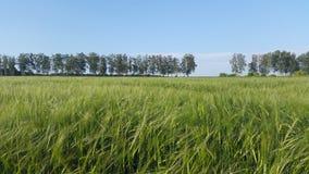 Ajardine com trigo - campo verde sob o céu azul Fotos de Stock Royalty Free