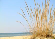 Ajardine com um arbusto das orelhas maduras da grama Imagem de Stock Royalty Free