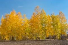 Ajardine com um bosque do vidoeiro em uma borda do campo agrícola Foto de Stock Royalty Free