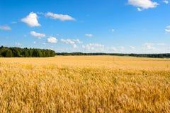 Ajardine com um campo amarelo do centeio maduro em um dia ensolarado Imagens de Stock