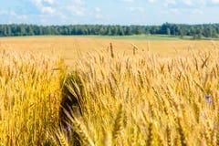 Ajardine com um campo amarelo do centeio maduro em um dia ensolarado Foto de Stock