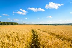 Ajardine com um campo amarelo do centeio maduro em um dia ensolarado Fotos de Stock