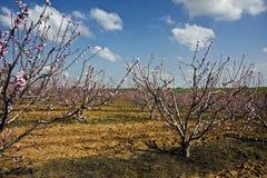 Ajardine com um campo de árvores de florescência Imagem de Stock Royalty Free