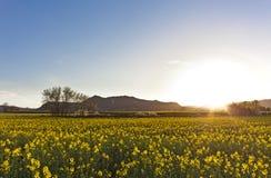 Ajardine com um campo de flores amarelas no por do sol Imagens de Stock