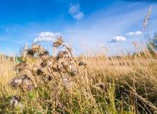 Ajardine com um cardo em um campo de gramas secas Fotos de Stock